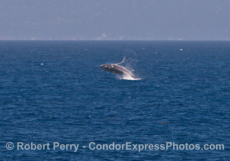 "Image 1 of 4:  the juvenile humpback we call ""Speckles"" is shown breaching."