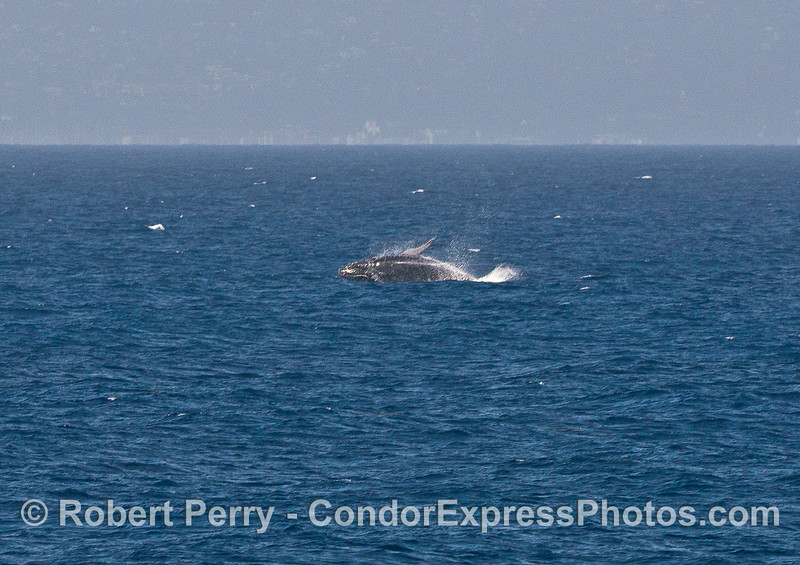 "Image 2 of 4:  the juvenile humpback we call ""Speckles"" is shown breaching."