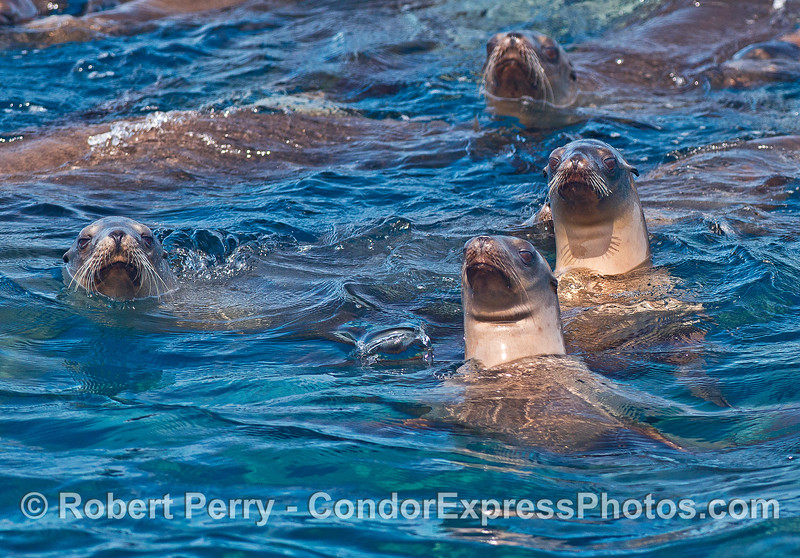 Image 2 of 5:  a mob of California sea lions formed a nice raft near Pelican Bay.