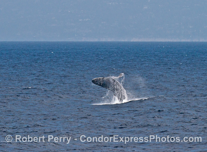 "Image 3 of 4:  the juvenile humpback we call ""Speckles"" is shown breaching."