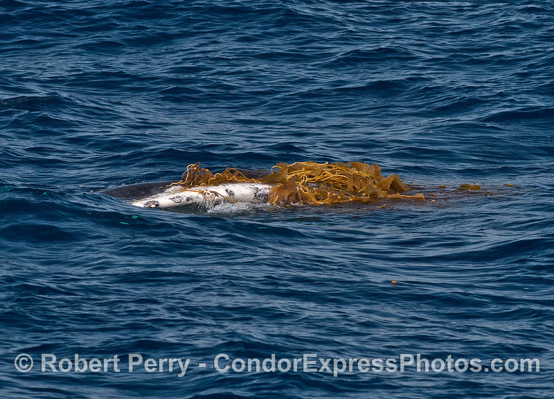 Image 5 of 9:  a humpback whale does a bit of kelping.  Whale on its side and kelp is piled on the right pectoral fin.