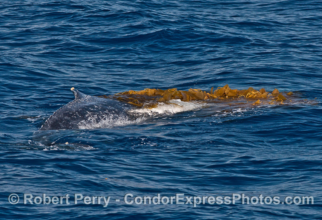 Image 7 of 9:  a humpback whale does a bit of kelping.  The beast has rolled over on its left side and the long white pectoral fin is showing under the kelp.