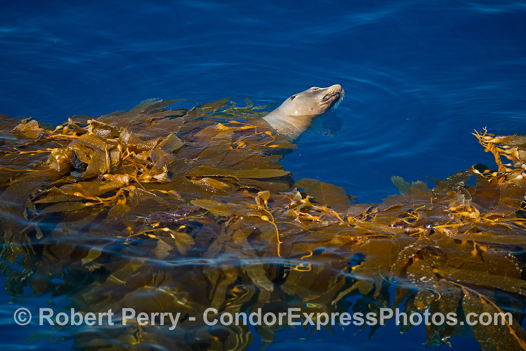A California sea lion relaxes in a drifting paddy of giant kelp in the middle of the Santa Barbara Channel