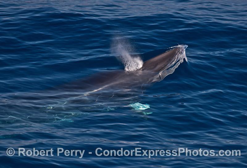 Spouting Minke whale