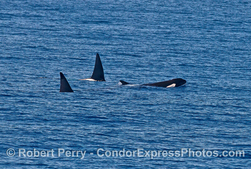 Two males and one female killer whale