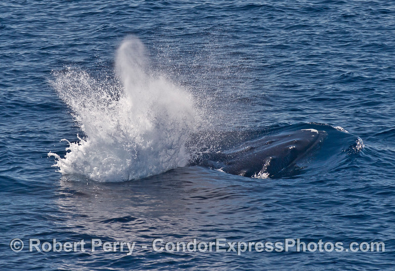 An explosive spout from a humpback