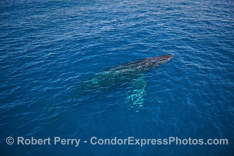 Full body look - a humpback whale rises to the surface