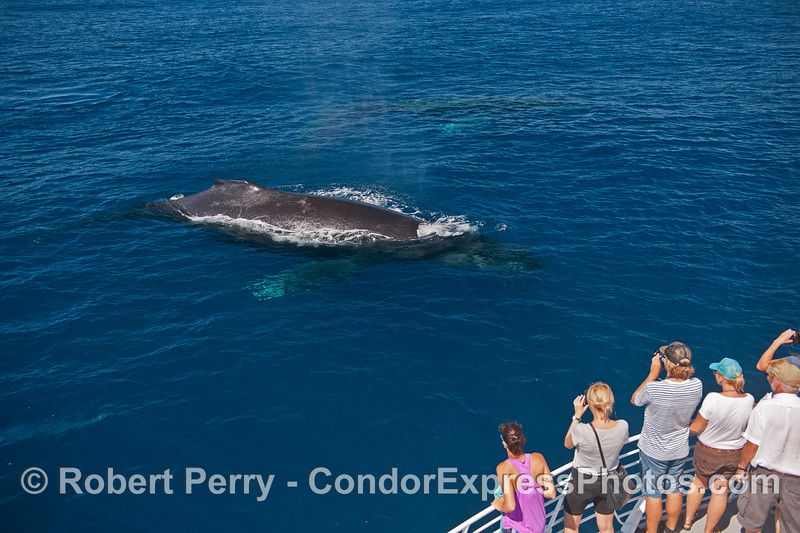 Humpback whale and fans.  A 2nd humpback is underwater near the top center.