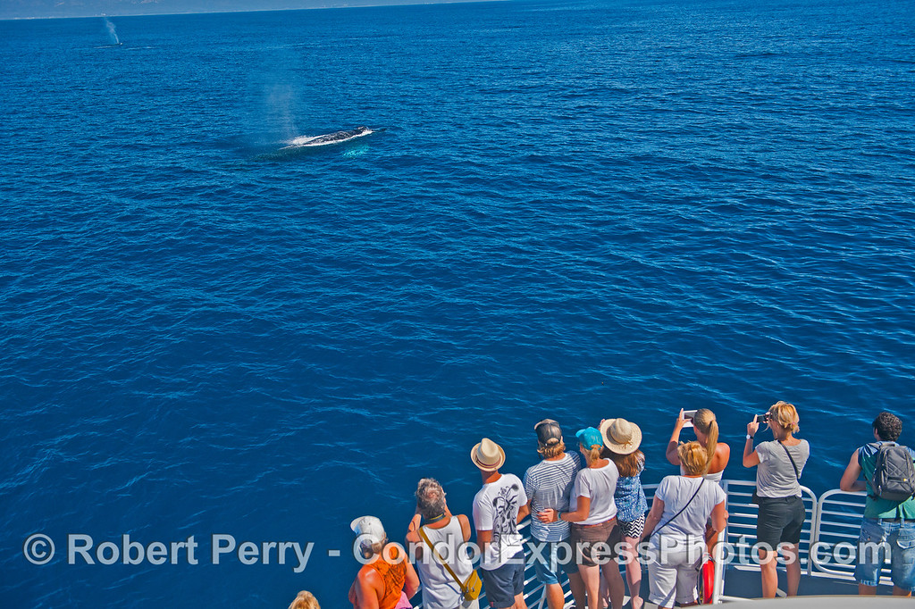 Two humpback whales and their fan club