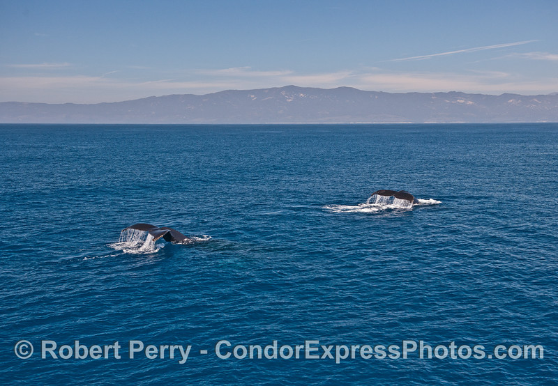 Double tail flukes - humpback whales - mainland coast in back.