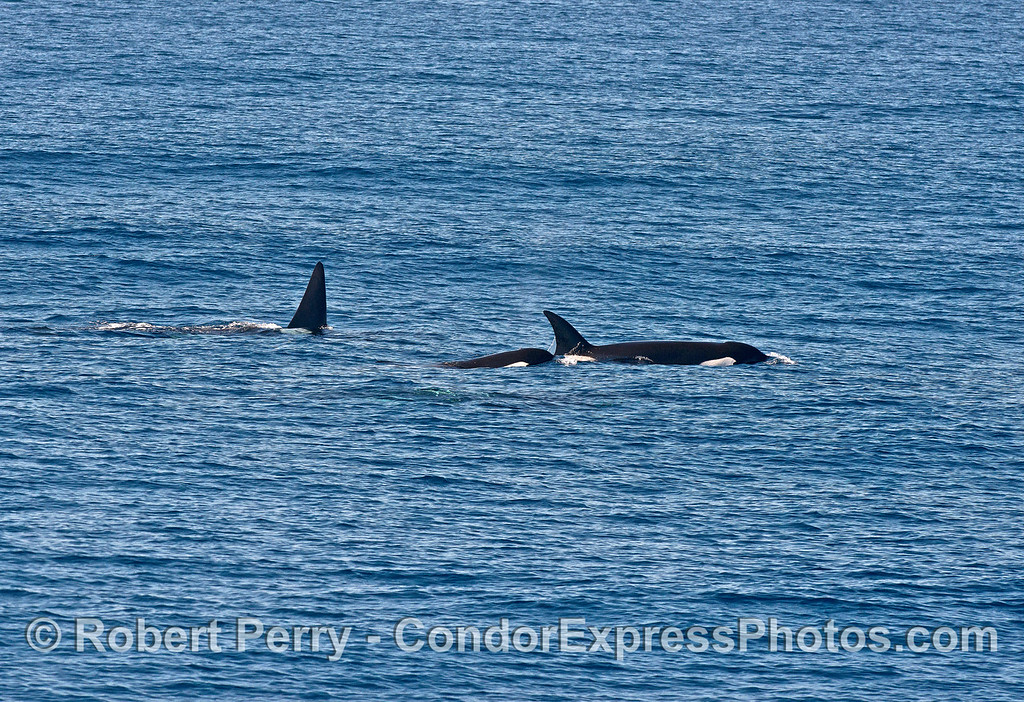 Male and two female killer whales
