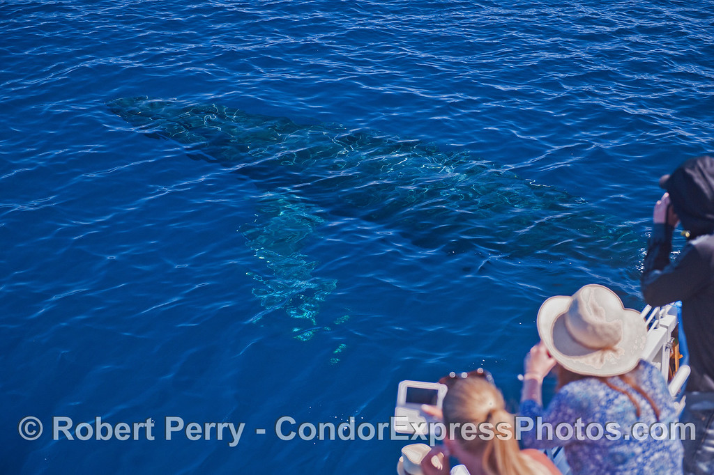 A large humpback whale cruises out from underneath the boat