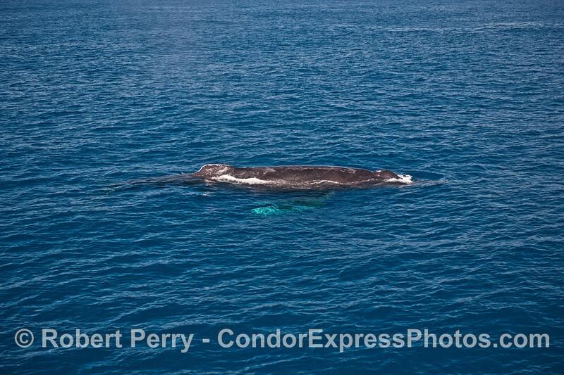 Full body look - humpback whale