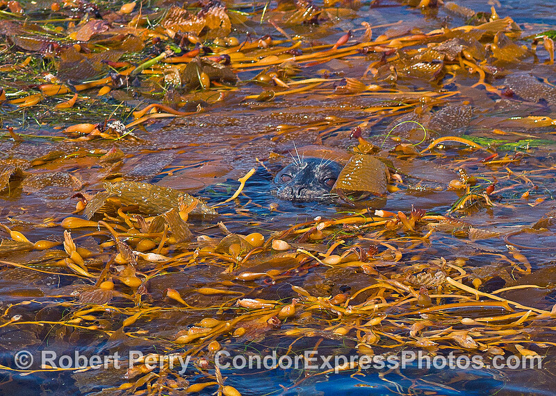 Image 3 of 3:  a Pacific harbor seal hides in a floating giant kelp paddy.  Shy seal view.