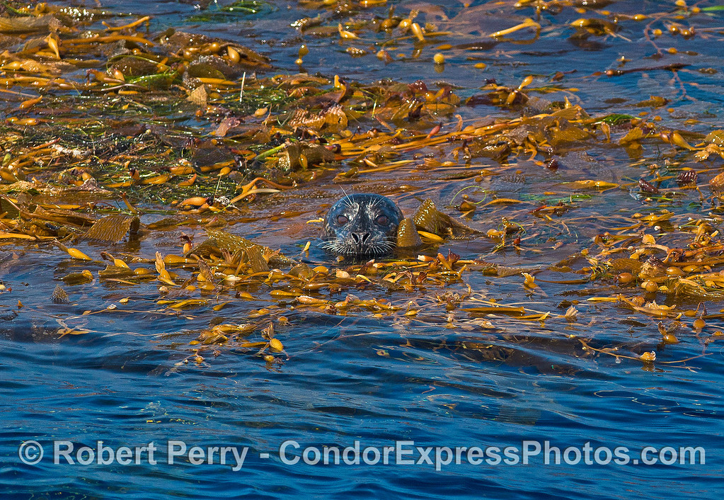 Image 2 of 3:  a Pacific harbor seal hides in a floating giant kelp paddy.  Frontal view.