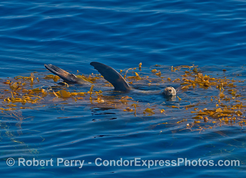 Sleeping on a bed of giant kelp in the open ocean.   California sea lion.