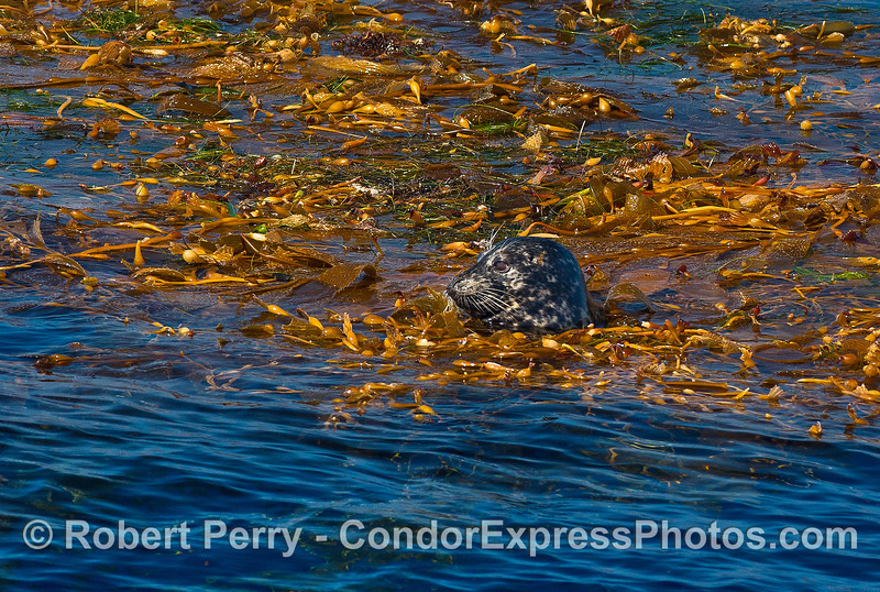 Image 1 of 3:  a Pacific harbor seal hides in a floating giant kelp paddy.  Side view.
