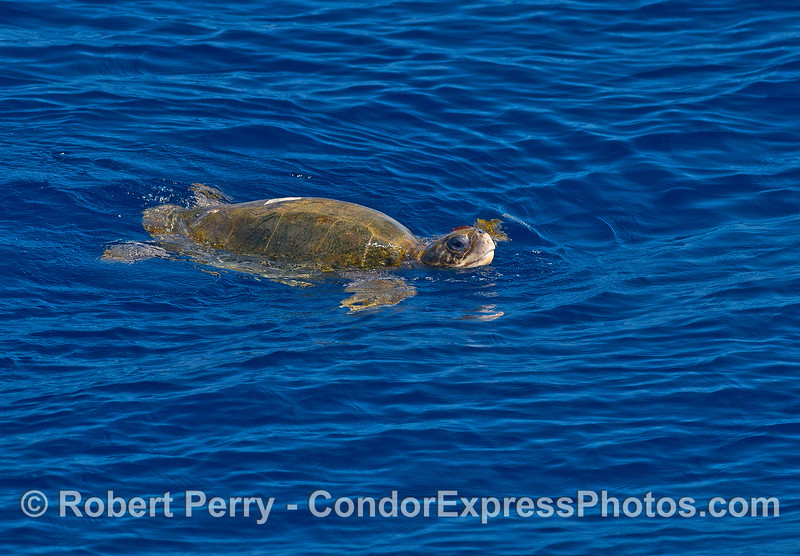 A very cooperative olive Ridley sea turtle.