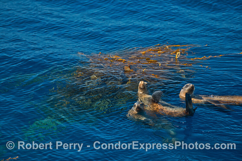 Three California sea lions rafting close to their giant kelp security blanket.