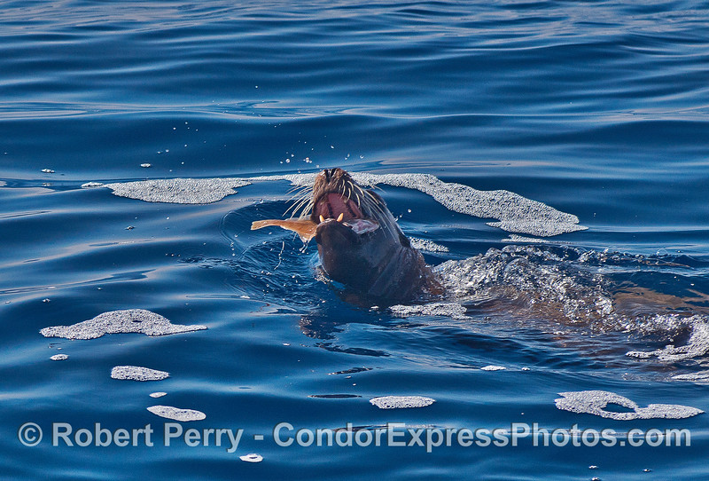 Image 1 of 2:   dinner time for a California sea lion.