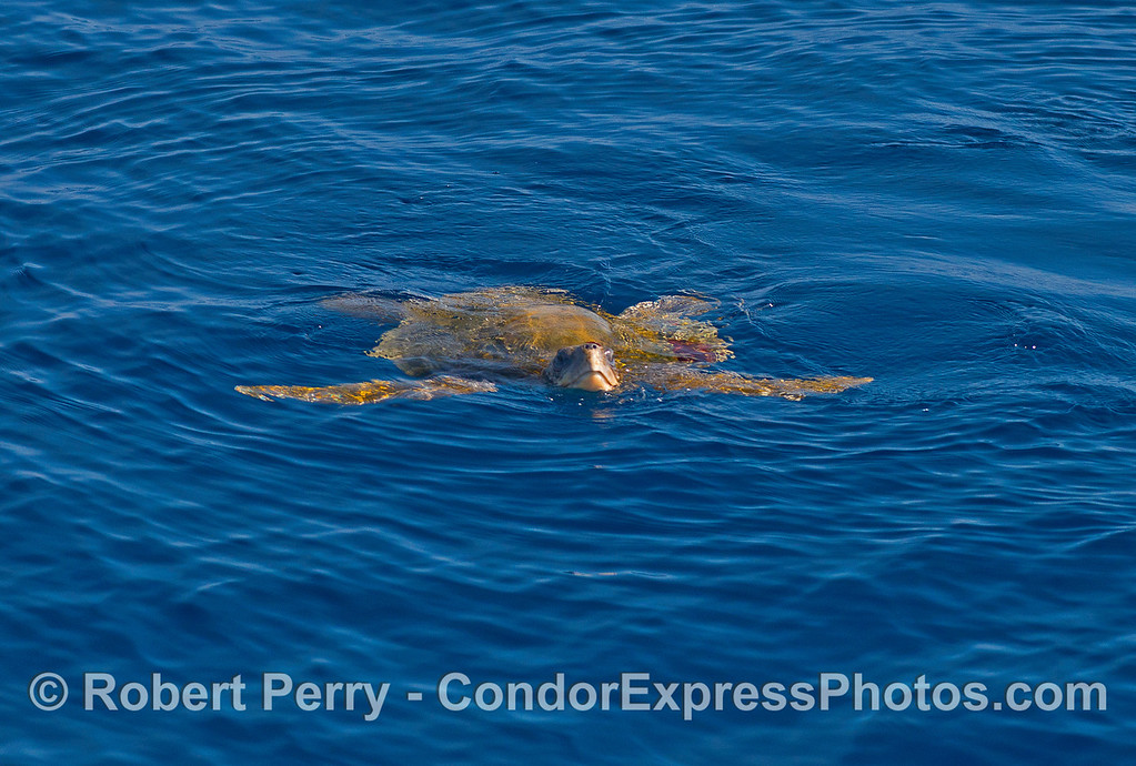 An olive Ridley sea turtle poses for a portrait in the clear blue El Niño water.