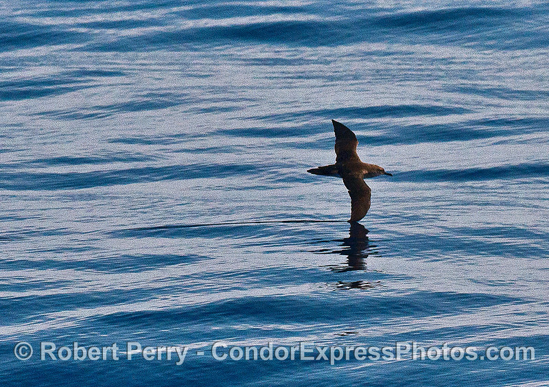 A soaring shearwater leaves a mark on the surface where its wing tip has creased the water.