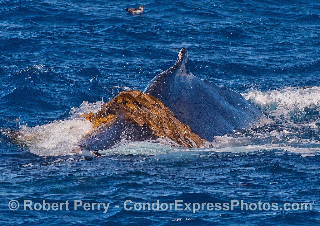 Humpback kelping - Close look.