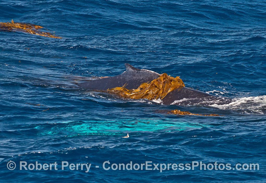 Humpback kelping - dorsal kelp and white pectorals glowing underwater.