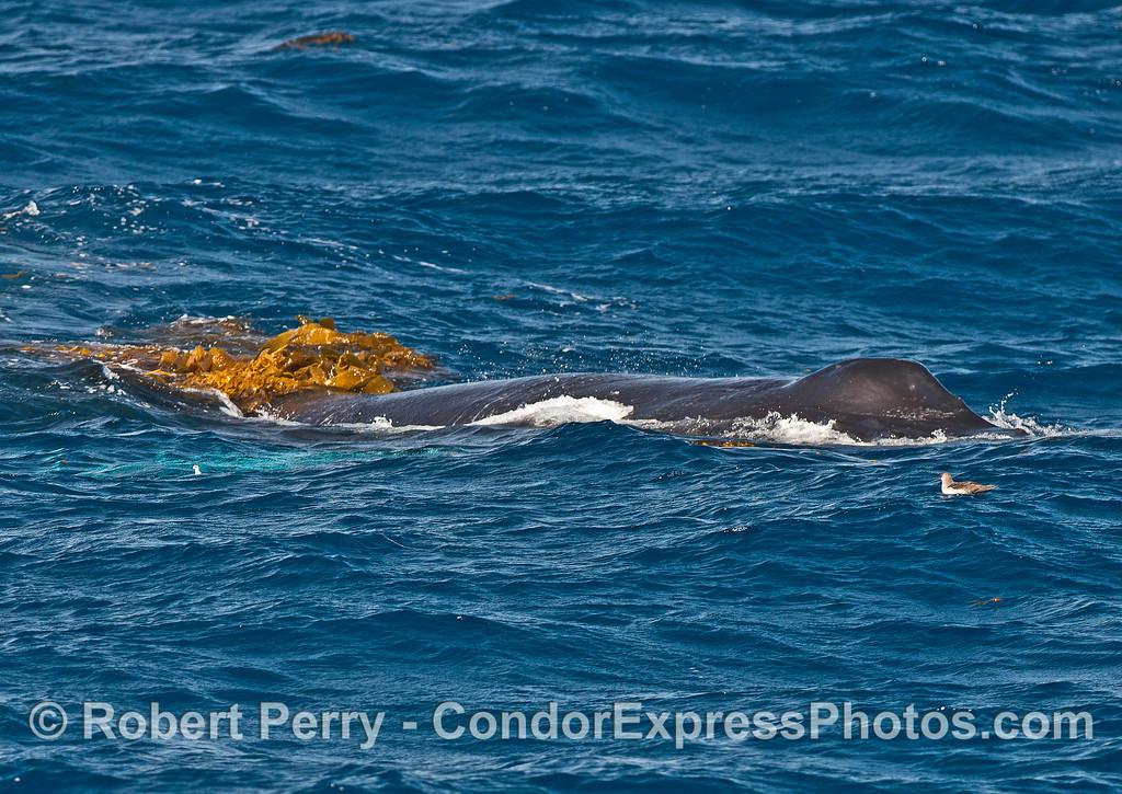 Humpback kelping - kelp on the back.