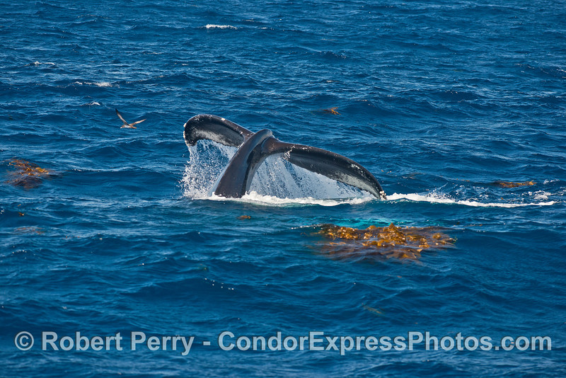 Lots of giant kelp debris and a mighty humpback whale shows its tail.