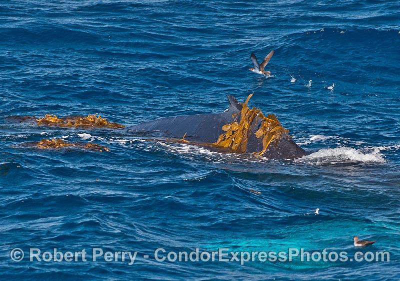 Humpback kelping - dorsal fin and a shearwater in the back.