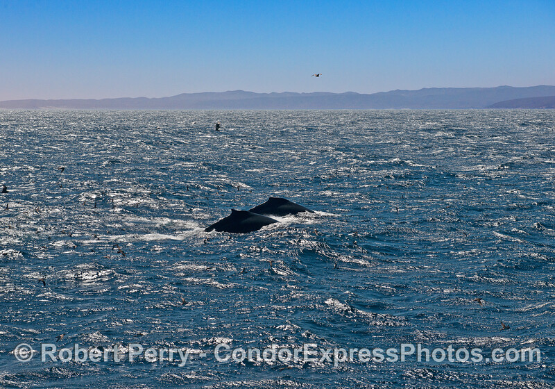 Two humpback whales side-by-side.