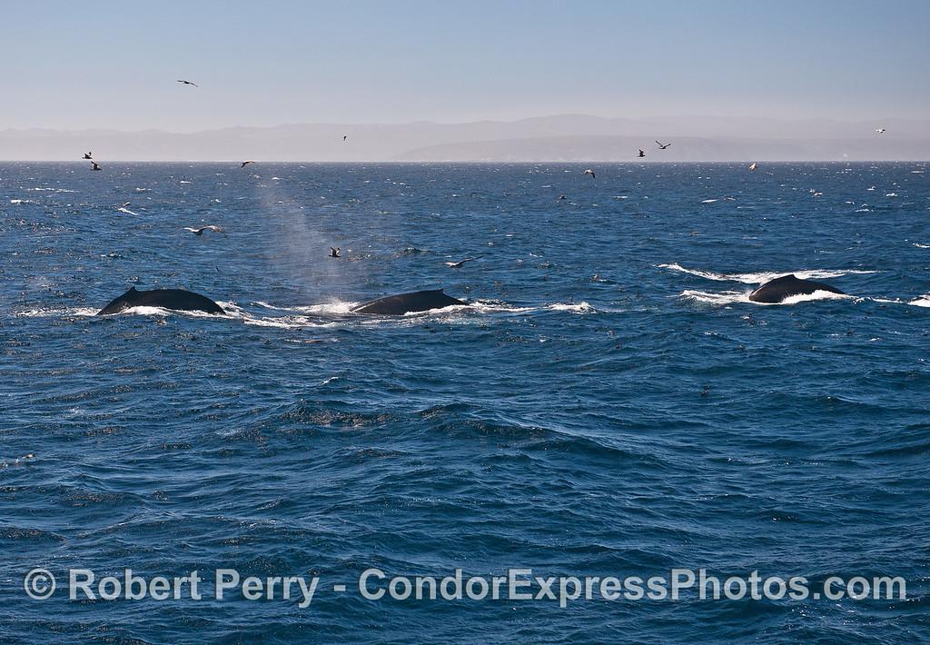 Image 1 - Three humpback whales.