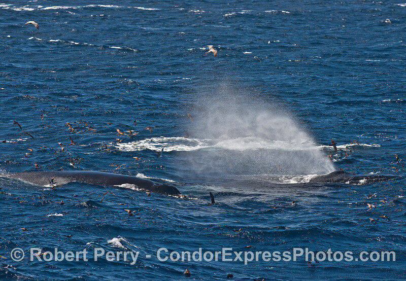 Humpback whales in the wind and waves - spout spray flying.