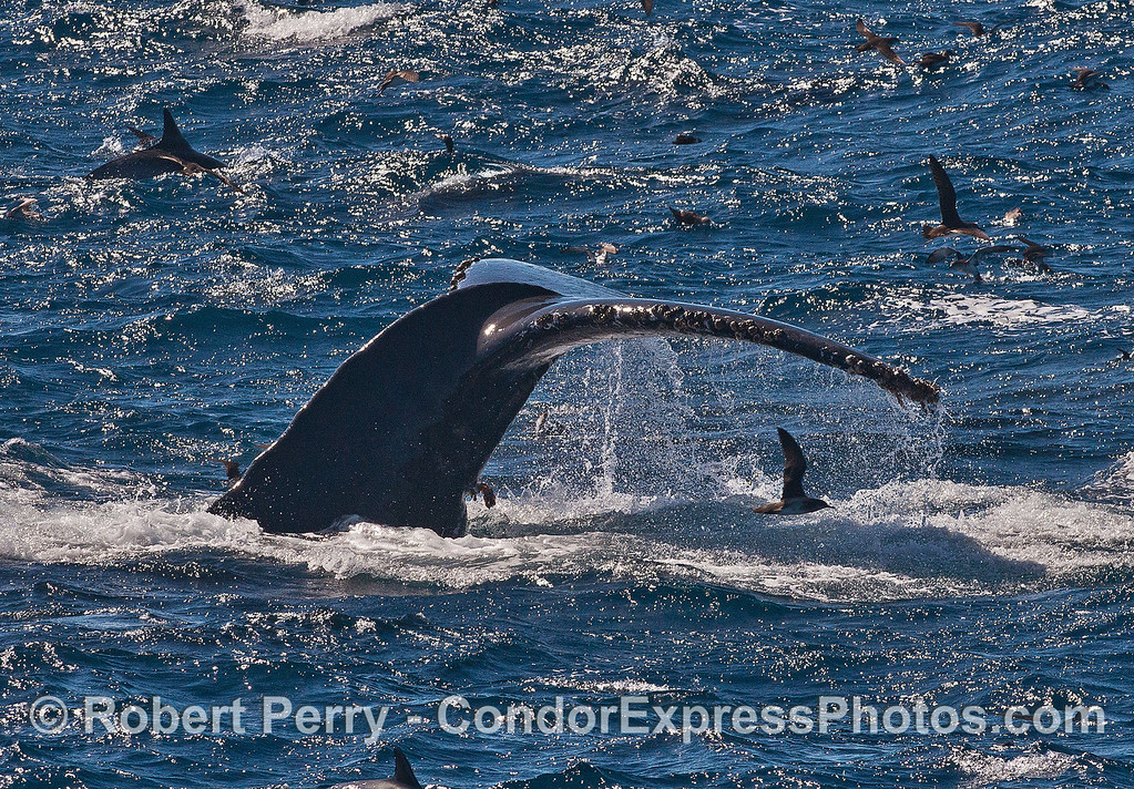 Humpback whales in the wind and waves -  tail fluke and shearwaters.