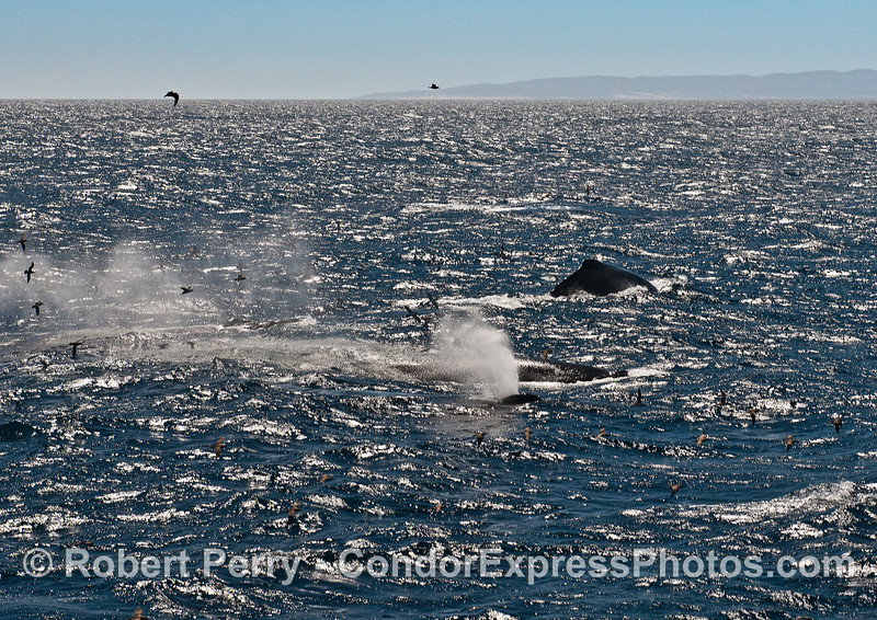 Three Humpback whales in the wind and waves - Santa Rosa Island in back.
