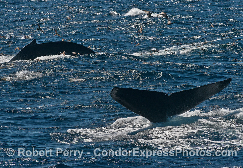 Humpback whales in the wind and waves