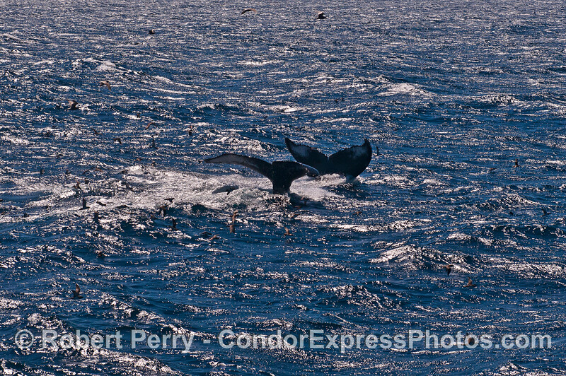 Image 2 of 2:   Humpback whales in the wind and waves - double tail flukes.