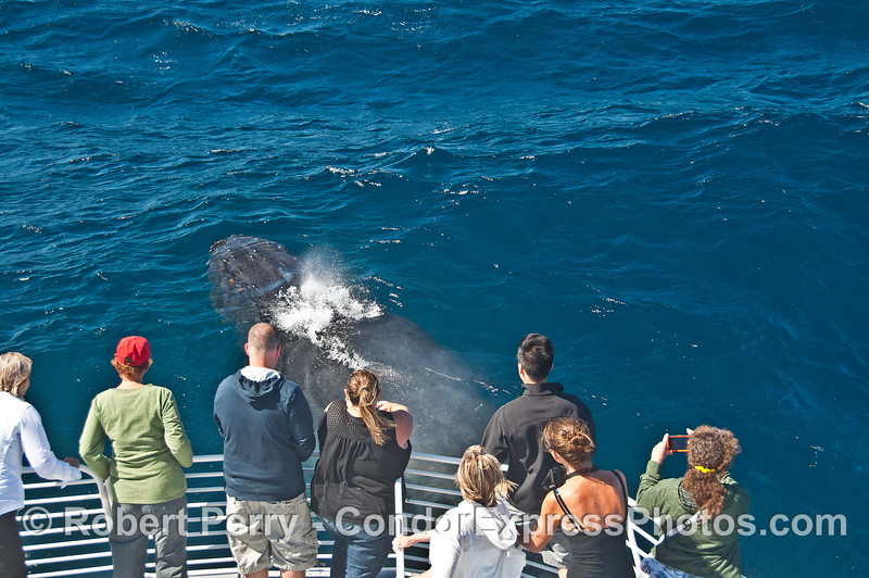 A humpback whale rises up near the bow of the boat from its hiding place under the boat.