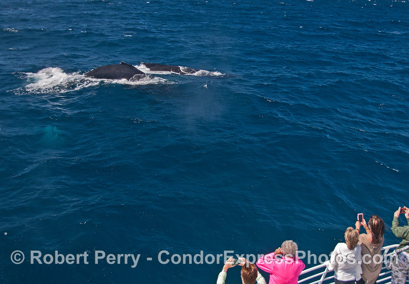 Multiple humpback whales visit their fans.