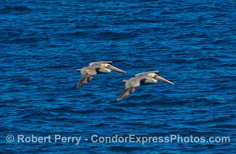 Two brown pelicans soar across the waves.