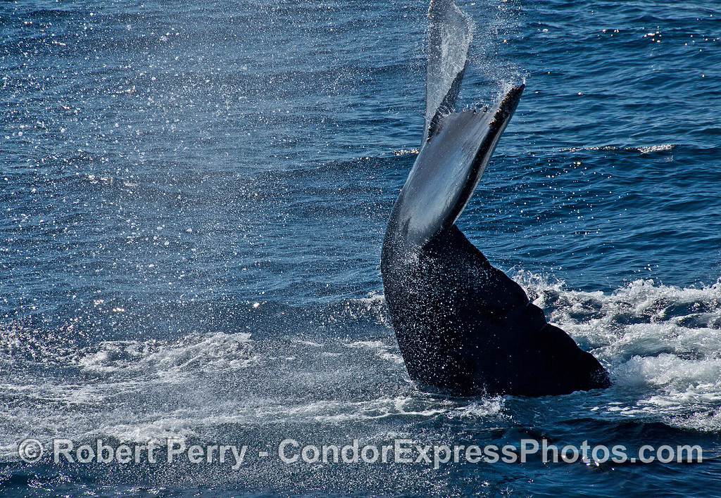 """Another photograph in the """"tail flick"""" sequence shows the underside of the tail flukes."""
