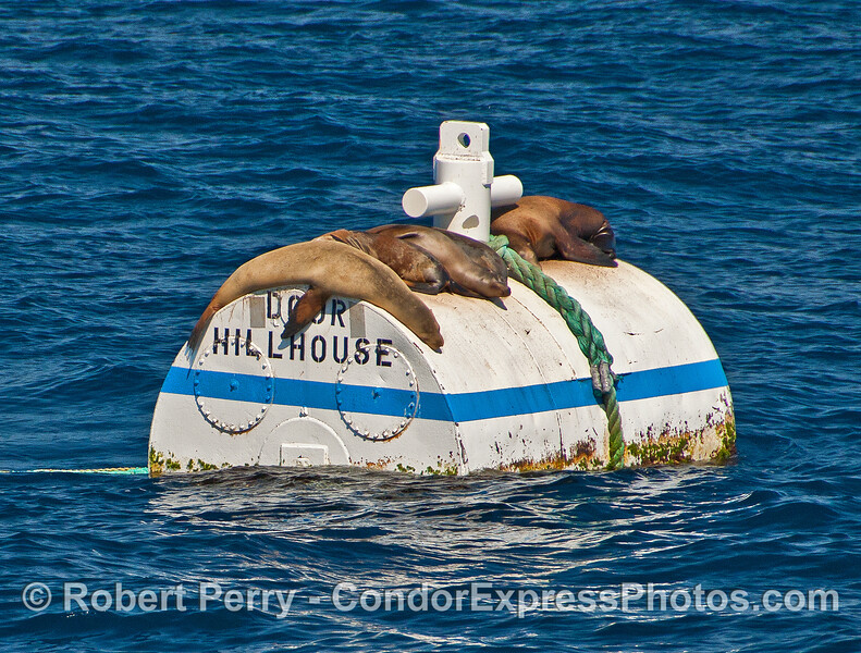 California sea lions rest on a mooring can.