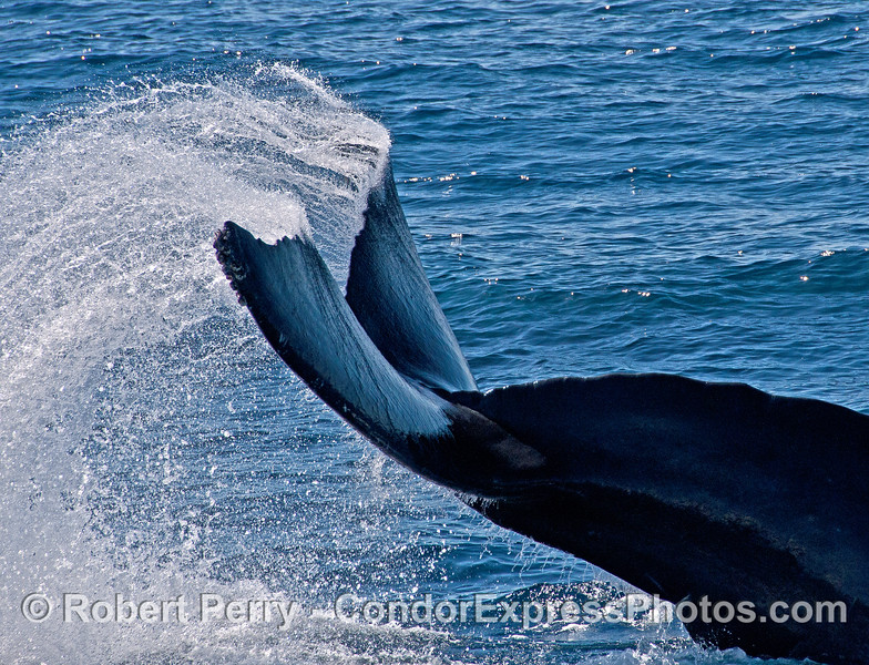 "A humpback whale does a strange and unique ""triple tail flick"" and sends water flying in an unusual arc pattern."