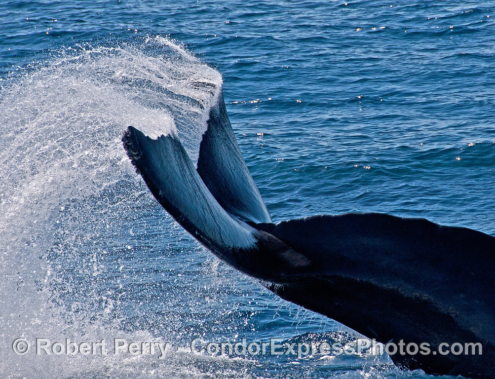 """A humpback whale does a strange and unique """"triple tail flick"""" and sends water flying in an unusual arc pattern."""