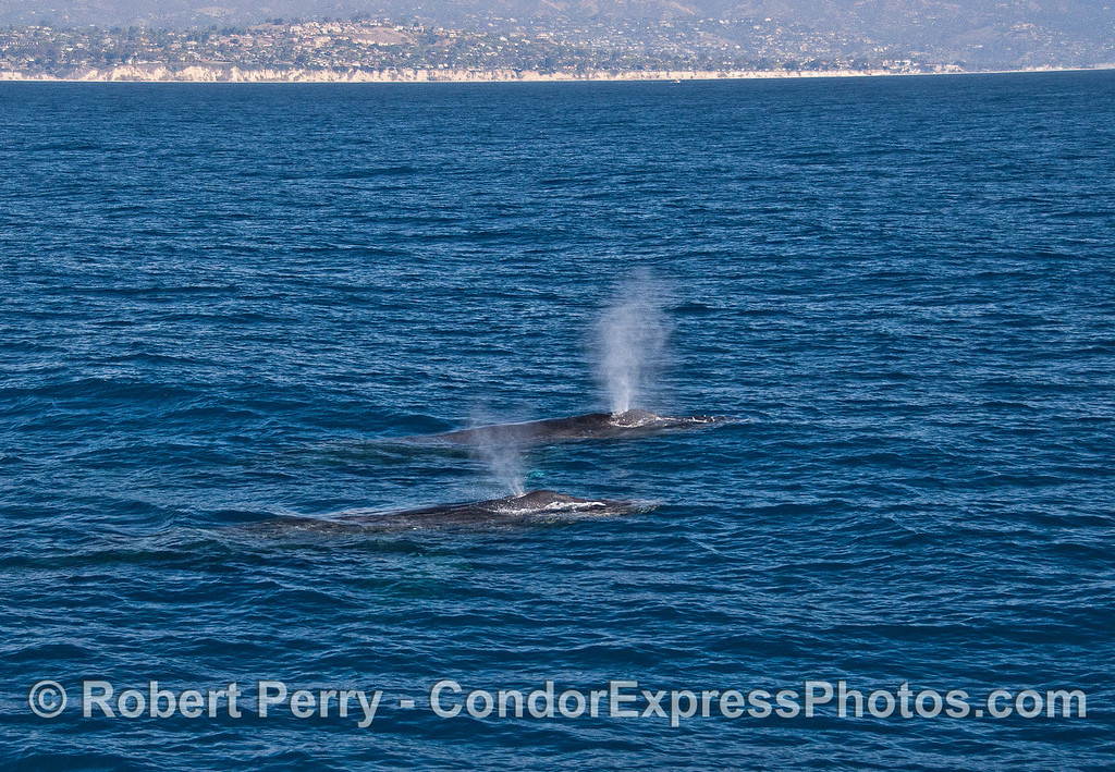 Twin humpback whales and twin spouts.   Hope Ranch can be seen in the back.