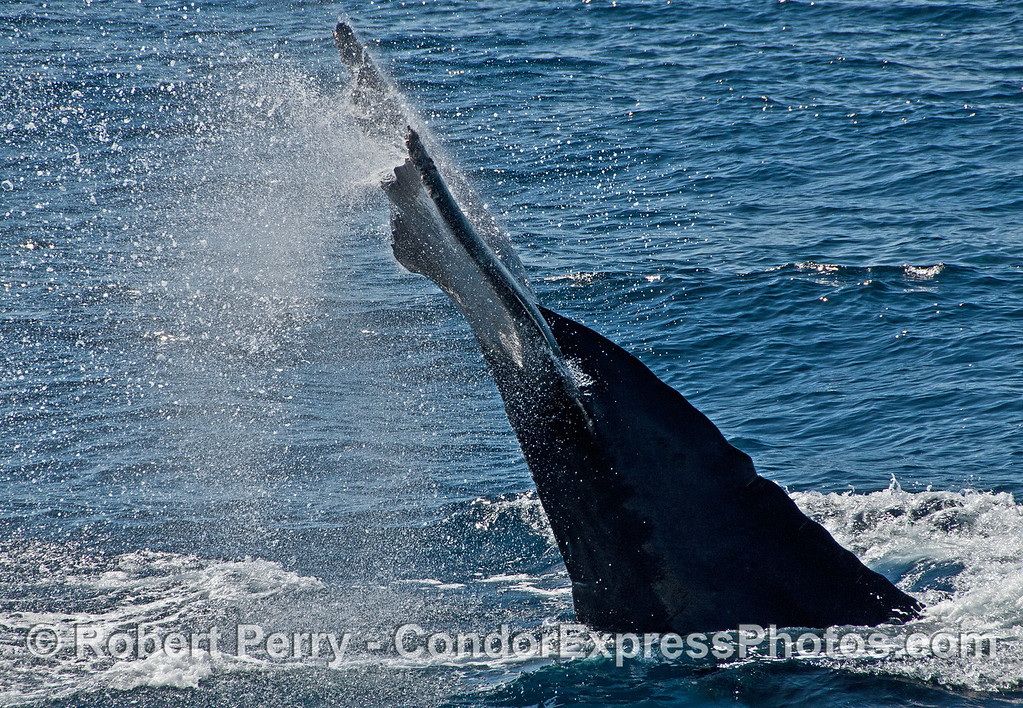 """Humpback whale """"triple flick"""" tail flukes with spray."""