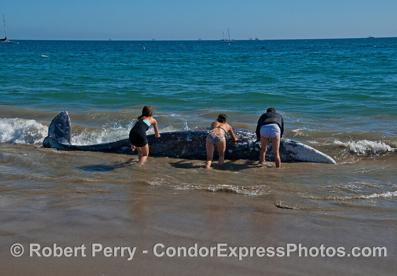 People attempt to push the dead gray whale into deeper water without much luck