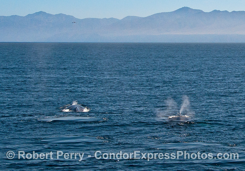 Two humpbacks heading for Santa Rosa Island