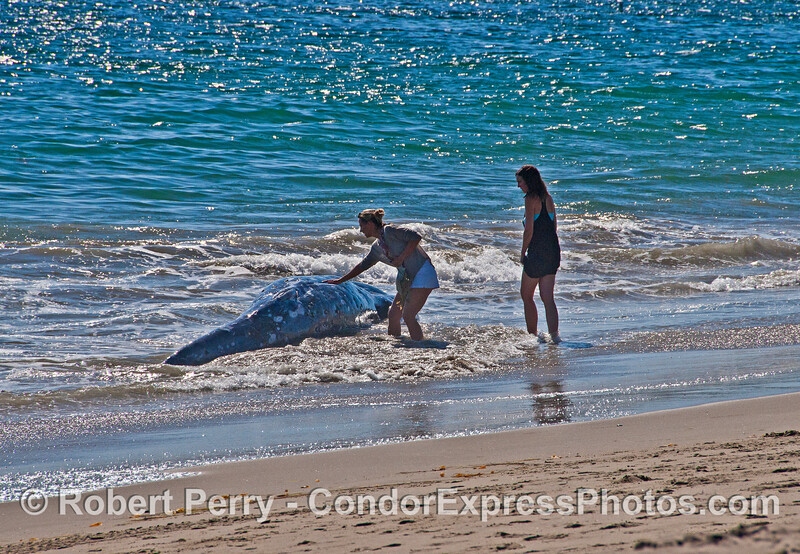 Touching a dead gray whale yearling